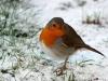 roodborstje in winter