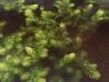 Gedoornd hoornblad